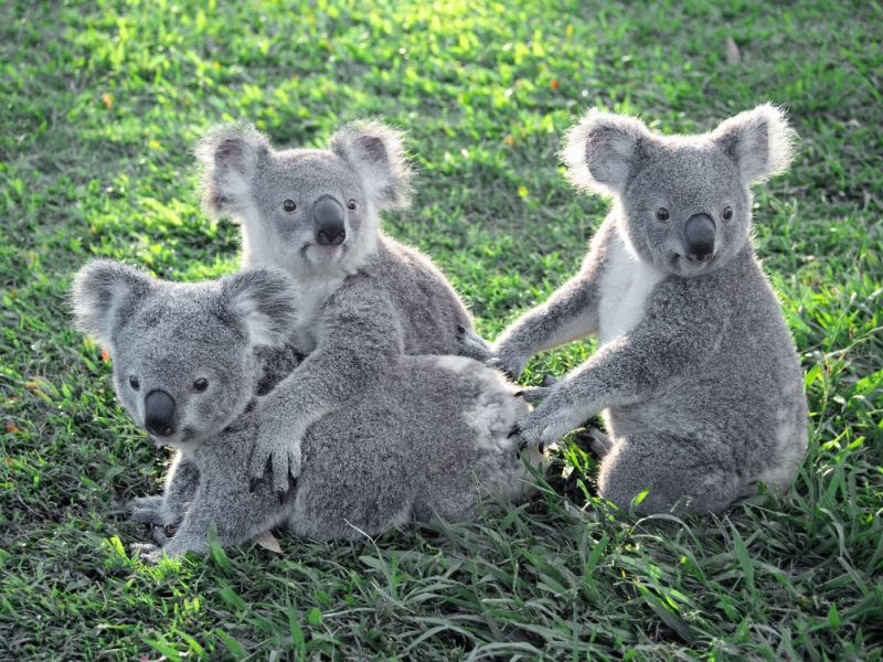 Photographed at Lone Pine Koala Sanctuary, Brisbane, Australia - World's First and Largest - Since 1927